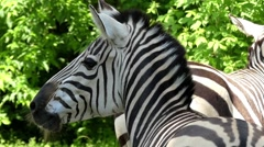 A Zebra Head Moves in Slow Motion. Stock Footage