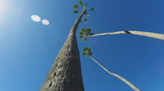 Underneath View Of Long Thin Trunked Palm Trees Stock Footage