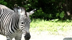 Cute Zebra Walks and Trots Ears. Slow Motion. Stock Footage