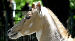 Head Antelope Looking in Different Directions. Action in Slow Motion. Stock Footage