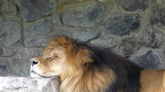 Frame Peace. a Lioness Rests and Sleeps. in the Sky Flying Poplar Fluff. Stock Footage