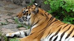 Tiger Licks Himself. Close up Shot. Slow Motion. Stock Footage