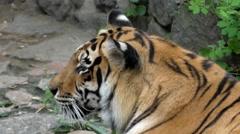 Tiger Head Closeup. Stock Footage