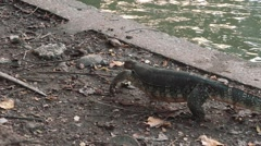 Monitor lizard walking near a lake, Lumpini park, Bangkok - stock footage