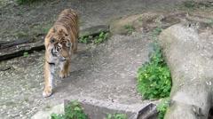 Beautiful Tiger Walks Through the Woods. Close up Shot. Stock Footage
