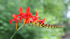Beautiful red Crocosmia flowers in the summer season Stock Footage