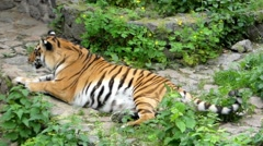 The Tiger Rests and Then Jumps up and Runs. Stock Footage