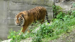 Graceful Gait of a Tiger in Slow Motion. Stock Footage