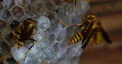 Many Yellow Jacket Wasps Watching Over Hive Macro Close 10bit, 4K Stock Footage