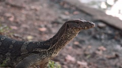 Monitor lizard standing, then walking in Lumpini park, Bangkok - stock footage