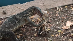Monitor lizard gnawing on a bone in Lumpini park, Bangkok - stock footage