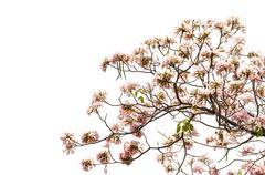 Pink Trumpet Tree on white background - stock photo