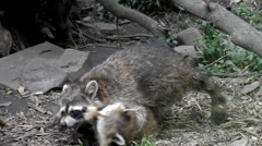 A Family of Raccoons Playing in the Zoo. Frame Taken From Behind the Glass. Stock Footage