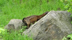 A Capuchin Monkey Sitting on the Ground. Stock Footage