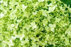 Background of green hydrangea flowers - stock photo