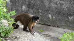 Capuchin Climbs Trees, Jumps and Moves in Slow Motion. Stock Footage