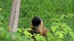 Funny Action: a Monkey Scratches His Head in Slow Motion. Stock Footage
