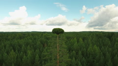 Aerial Shot of Tall Pine Tree in the Middle of Large Pine Forest Stock Footage