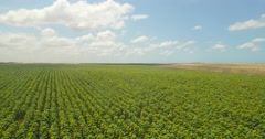 Israeli agriculture sunflower field Stock Footage