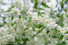 Dense jasmine bush blossoming in summer day Stock Photos