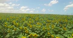 Large sunflower field Stock Footage