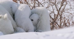 Two Polar Bear cubs playing, while snuggling with sow. Both cubs look at camera Stock Footage