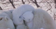 Close up of two Polar Bear cubs wrestling on top of sow. Cubs play fighting and Stock Footage