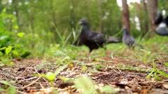 Pigeons Eat Grain Closeup. Stock Footage