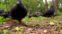 Pigeons Eat Grain Closeup. Stock Footage