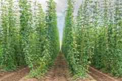 Traditional fully grown Czech hop Stock Photos