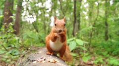 Cute Red Squirrel Jumps on a Tree Stump and Starts to Eat Nut. Stock Footage