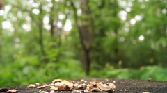The Red Squirrel Jumps on a Tree Stump and Starts to Eat the Nut. Stock Footage