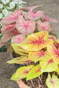 Caladium (queen of the leafy plant) Stock Photos