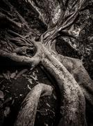 Enormous fig tree roots Stock Photos