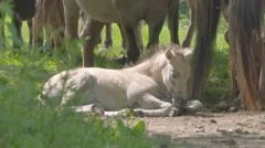 Foal lies down in the herd,  other horses nearby Stock Footage