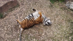 Wild Tiger Rolls on the Ground Like a Kitten. Stock Footage