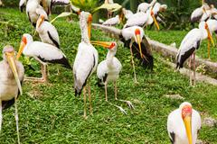 Flock of milky stork (Mycteria cinerea). Big bird with yellow beak. Malaysia. Stock Photos