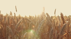 Wheat in a wheat field at sunset - stock footage