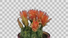 Time-lapse of blooming red cactus buds with ALPHA channel Stock Footage