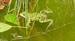 Green frog floating in the water, catching and eating insects. Stock Footage