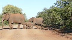 Elephant herd crossing road Stock Footage
