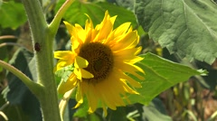 Disk of a sunflower (Helianthus annuus), Chalkidiki, Greece. Stock Footage