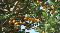 Ripe yellow Cherry plum fruit on a tree. Greece. Stock Footage