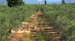 Olive plantation in Chalkidiki, Greece. Stock Footage