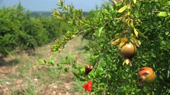 Pomegranate plantation. Olympus mountain aria, Greece. Stock Footage