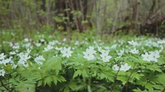 White snowdrops in the woods Stock Footage