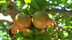Pomegranate plantation. Olympus mountain aria, Greece. Stock Footage
