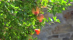 Ornamental Pomegranate tree with fruits on a background of the old brick wall Stock Footage