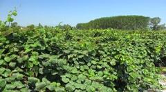 Kiwifruit vines (Actinidia deliciosa, cultivars 'Hayward') on a plantation. Stock Footage