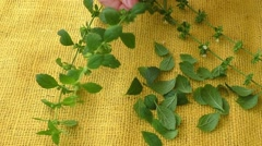 Culinary aromatic herbs. Melissa leaves on a yellow background Stock Footage